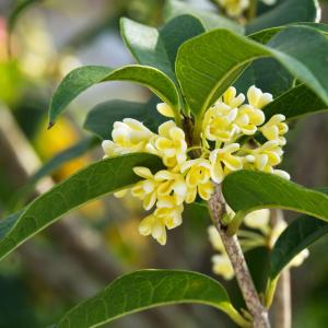 Tea Plant Care: Learn About Tea Plants In The Garden