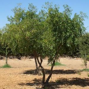 La azofaifa: una planta milenaria
