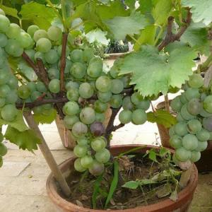 盆栽葡萄品种选择很重要