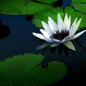 孟加拉的国花是什么花