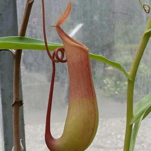 Carnivorous Plant Problems: Why A Pitcher Plant Has No Pitchers