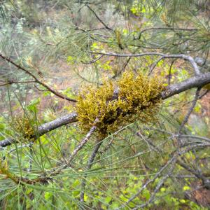 What Are Parasitic Plants: Learn About Parasitic Plant Damage