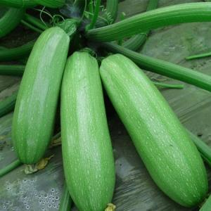 How to Tell When Zucchini Is Ready to Harvest