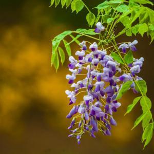 紫藤花的副作用