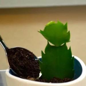 5步教用一段蟹爪兰水培生根,只需要一杯水就够了