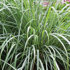 Learn how to grow lemongrass from seed in this short tutorial. Growing lemongrass from seed is easy and requires little to no care, once established.