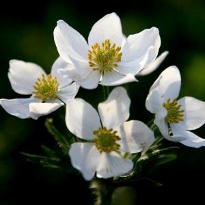 一朵五叶银莲花能亮瞎你的眼