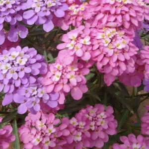 蜂室花图片