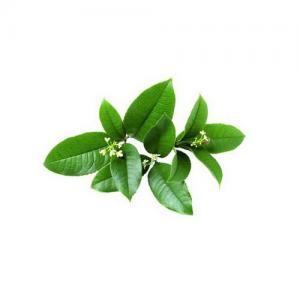 Clasificación de las hojas (continuación): tipos de hojas según las características y aspecto del limbo.