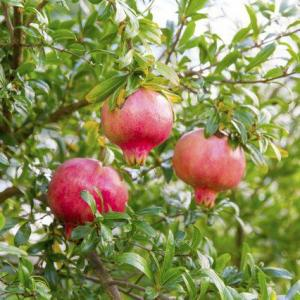 How to Grow and Care for Pomegranate
