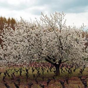Árboles frutales: el cerezo