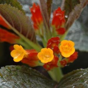 金红花图片