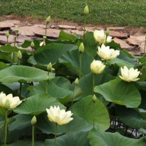 Lotus Plant Care – Learn How To Grow A Lotus Plant