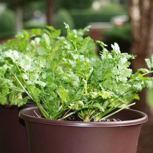 Starting an indoor herb garden? Find out 11 best herbs to grow indoors. These are easiest to grow and require less care.
