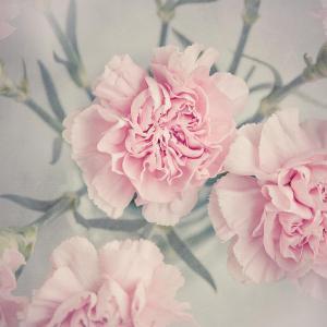 唯美的粉红色康乃馨图片欣赏