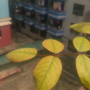 月季的叶子从顶端开始变黄,顶部的叶芽有点焦掉的感觉…这是为什么?