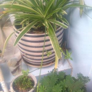 猫啃过的金边吊兰…刚买回来的狼尾蕨…超好玩的含羞草…