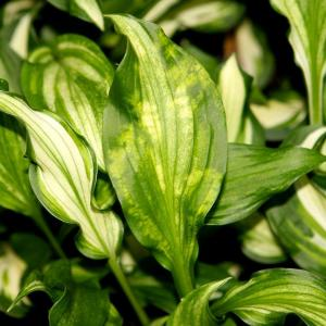 Hosta Plant Diseases and Treatments – Tips On Treating Hosta Diseases