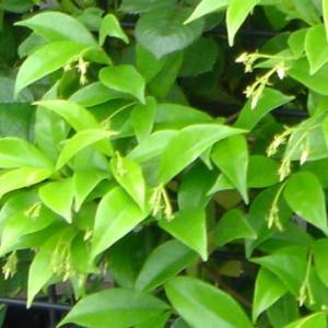 スタージャスミン(トウキョウチクトウ)の特徴と栽培方法