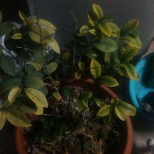 含笑本来每年都会开花,但前年春天因为照顾一只捡来的小猫而忘记给它浇水,结果它干得叶子几乎掉尽,后来虽然又活了过来但终究是元气大伤。而且我不喜拔杂草,盆里长满了别的小植物,还长过西瓜苗。再加上从不施肥,本来每年春天开花的含笑今年毫无开花迹象,叶子更是黄得惨不忍睹。最近新入手了大量肥料,索性将盆里能掏出来的泥土都换了,补充了大量基肥,杂草也拔掉了,还将位置从西晒换到东面。希望能养好吧。话说含笑还是很不娇气的,养成这样也真的是我从来没管过它。也是跟了我四年了。