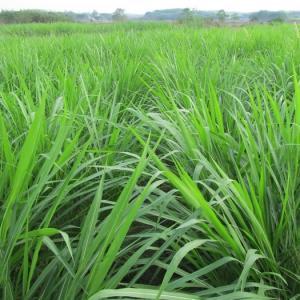 只需五步,轻松学会黑麦草的种植