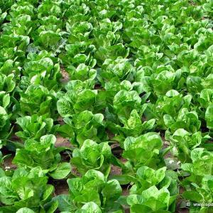 Lechugas, propiedades nutricionales, tipos y cómo cultivarlas