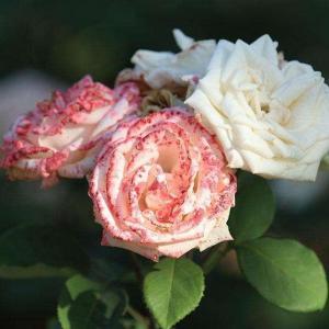 月季枯叶不是病,补完这些小东西,立马窜芽开花!