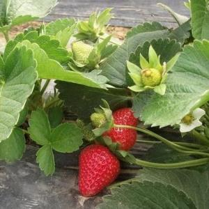 When to Plant Strawberries in North Carolina