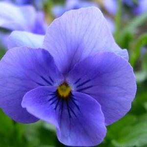 紫罗兰的功效与作用