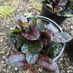 Ajuga Planting In Pots: Tips For Growing Ajuga In Containers