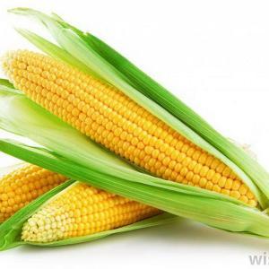 El cultivo del maíz