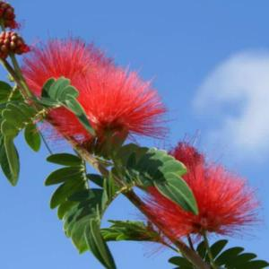 Calliandra haematocephala – Red Powder Puff