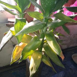 这个叶子怎么发黄了,现在温度10度求大神指点