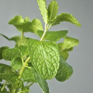 What Are Habek Mint Plants – Care And Uses For Habek Mint