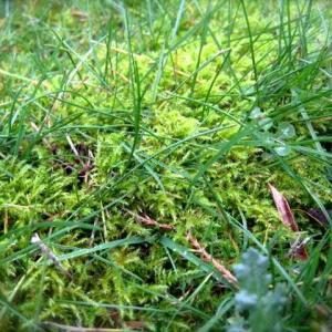 Moss in Lawns