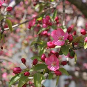 娇艳海棠花图片