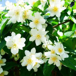 """在许多花友的眼中,自家的花花草草就和自己的孩子似的。但是,很多花友养的花大概只能养上1~2年,这可不符合大家的期待,今天绿手指就给大家介绍一些能够养很长很长时间的花!  月季  #月季  嘛,大家的老熟人,不对,老熟花😂,甚至不少花友家里的月季就养了十几年了呢!   越冬: 月季可以直接露天越冬,大冬天的有些顽强的月季还吊着个花骨朵呢! 楼房阳台上的盆栽月季。可以在11月下旬把月季脱盆修成土球,用塑料布包好,扎紧近根处(枝条露在外面),放置在阳台避风不见阳光的角落即可。2月上旬检查一次土球的潮湿程度,如太干要适当补充水。冬季已在室内过冬或开花的月季,不能在严冬季节再放置室外,否则会冻死。  度夏: 夏天蒸发量大,浇水要适当增加,不要见干见湿了,平时看见表面干了就浇水,浇水宜用晒过的水,以减少盆土与水的温差,如用过冷的水,会刺激根系,影响植株的正常发育。同时每天早晚都要往月季身上喷水。 月季虽然喜欢阳光的,但是过度的阳光对月季也很不利,夏季光照强烈的时候给月季遮阴。 开花期应每隔10天追施一次薄肥,也可将豆饼、禽粪用水浸泡,经封闭发酵后掺水作追肥,使植株花繁叶茂,打破月季夏季休眠状态。    #铁线莲   而作为很多人心目中""""藤本皇后""""的铁线莲,寿命也是非常长,反正,养上个20年是没有什么问题的,主要你别养死了~   越冬: 铁线莲的越冬和萱草的很像,也是地上部分全部枯萎,等到来年接着生长,放心,冻不死的,大部分的铁线莲冬天都能耐零下30℃的低温呢! 也可以趁着冬天,在铁线莲的根部周围挖上小孔,填进去一些自制有机肥,,冬天肥料发酵缓慢,等到春天的时候,正好可以让铁线莲吸收~  度夏: 夏天一定要进行遮阴,尤其是烈日暴晒的时候,同时也要注意通风。 一定要注意预防蓟马,发生期每5~7 天喷布40%乐果乳油600倍液1次,连喷2~3次,即可解决,或者使用阿维菌素、蚍虫灵等药物可以预防,爆发后可以每三天喷一次,连喷三次上述药物。 水分是一定要保证的,夏季蒸发量大,不仅平时要多浇水,还要早晚喷水,保持空气湿度。 如果家里养了这些花的花友, 要好好注意一下这些植物的越冬和度夏问题了~ 它们可是能够陪伴花友们几十年的植物呀!    #茉莉   茉莉花,本身就是多年生木本植物,寿命可是能够达到20年的呢!只要别把它养死了,就绝对能养好久好久,也开花好久好久啦~   越冬: 室内放在通风良好、阳光充足以及温暖的地方。越冬期间不施肥,少浇水,一定要等盆干叶软时再酌量浇水。水温以略高过土温为宜。浇水时间宜在中午前后。只要保持在0℃以上,盆土不冰冻,就可能安全越冬。 特别寒冷的地区,可在严寒到来之前,用塑料薄膜袋连盆套住,或先用铅丝、小竹棒等在盆沿上扎起一个小支架,再套上塑料薄膜袋,做成一个简单的小温室。碰到气温升高到10℃以上的情况,及时解开塑料袋进行通风换气。 清明节前后,茉莉花就可以出室,出室之前浇水要注意,既要防干,也要防潮,掌握""""带湿偏干""""的原则,不能等到盆干叶软才浇水。 另外,想要茉莉花养的久一些,就要给茉莉花换盆,可以采取换半份土的方法,即,将花盆上部一半的土换成新的营养土即可,这样,这样可以减少对茉莉花根系的伤害。一般1~2年的时间就要换盆一次。  度夏: 茉莉本身就喜欢高温高湿的气候,茉莉在20度以上,开始孕蕾继而陆续开花,30度以上,花蕾形成和发育的速度大大加快,花香也更加浓烈。因此,就是夏天的时候最好将茉莉放到外面,不用担心会晒坏了。   #栀子花   栀子花主要分布在南方地区,当然,现在不少北方的花友也开始养殖栀子花,让栀子如何在北方越冬度夏,就成了亟待解决的问题~   越冬: 霜降之前就要将栀子花搬进室内,光照良好的地方,然后室内温度最好保持在6—10℃,不要超过12℃,如果室内温度达到16℃,栀子花虽然不能开花,但是可以正常生长。 可以 一个月浇一次水,或是根据家里的干湿状况,盆土透了再浇水。不能施肥。 第二年4月,把栀子花出杈的上方2厘米处的老枝全部剪掉,然后搬到室外让它接受风吹日晒。 栀子花大概2~3年的时间就要换一次盆。  度夏: 夏天烈日暴晒的时候,最好遮阴处理,同时夏季蒸发量大,多浇水,看见盆土干了就浇水,不然供应不上~另外,夏天天气炎热,也不适合施肥,很容易将栀子花烧死。 栀子花喜欢高湿的环境,因此,平时要多往栀子花的身上喷水,喷雾,保持空气湿度。   #杜鹃   杜鹃是长在树上的~杜鹃的寿命很长很长,前一阵干货君还见过一棵129岁的杜鹃呢!   越冬: 室内温度最好能在3度以上。 杜鹃花喜欢湿度比较高的地方,所以最好不要靠近暖气片,而且平时也要多往周围喷洒水雾,增加湿度。 有条件的应该放在光照比较强的地方,没有条件,只要室外在3度以上,就要搬出去给它晒太阳。要不然长期不见阳光可能会落叶。  度夏: 杜鹃花喜欢阴"""