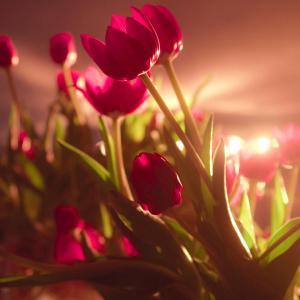 唯美的红色郁金香图片欣赏