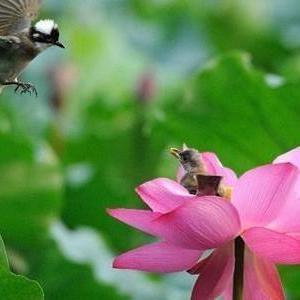 越南人与莲花