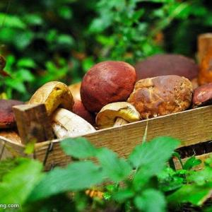 When to Pick Morel Mushrooms in Oregon
