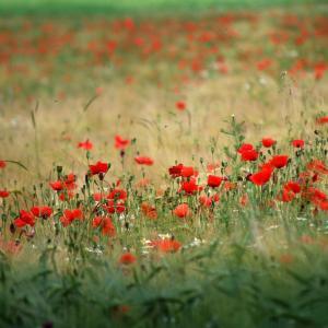 唯美的红色罂粟花花海图片欣赏