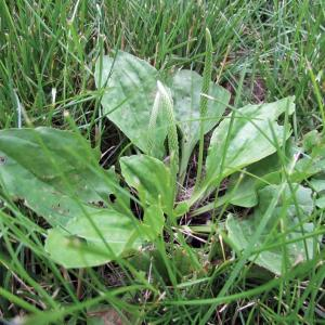 Perennial Broadleaf Weeds in Lawns