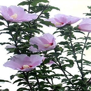 一、天王星  这一种疾病此植物经常会有,我们可以使用一些农药来将它杀死。  二、天牛  我们需要经常检查树的枝干,因为会有天牛,如果发现了那要将洞口封住,然后将它杀死。   三、蚜虫  这是重点,最应当让它在初始孵化的时候,给它施加乐果乳等,这个是百分之八十的,而且需要它是两倍的试剂。而除此之外,我们可以给它施加氧化乐果,浓度是百分之四十,倍数是两千。假若已经有了虫瘿或者是在树上产生的,就应该增大浓度。  四、卷叶蛾  如果幼虫刚开始的时候已经孵化了,或者因为叶子是卷的它没有落地,我们就可以给它施加辛硫酸,浓度是百分之五十,倍数一千。除此之外,可以用浓度为百分之九十倍数一千的敌百虫来喷杀。   五、尺蠖  这个需要在幼虫的时候进行杀除,可以使用敌百虫。乐果也可以对它起作用,需要浓度百分之四十,倍数一千。对它的幼虫进行捕捉,或者释放寄生蜂对除掉它也很有用。  六、刺蛾  这个要把它的虫茧收集起来,然后把它埋进土里。收集虫茧的方法是采摘、敲击、挖掘等。这样子虫子的密度会很大地减小。而且它的幼虫一般是群居,我们可以将它摘除。此外,我们可以利用它对光的依赖,将它诱惑过来,然后把它除掉。