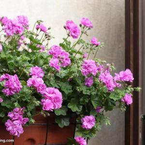 天竺葵必须经过春化吗(看品种)