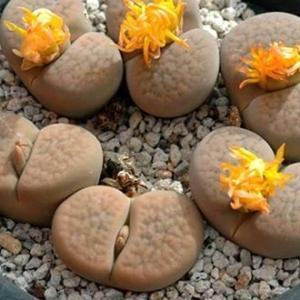 从弁天玉和大津绘说起——生石花名字背后的日本文化寓意