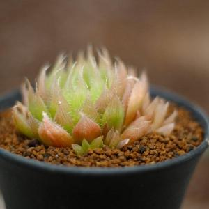 Diseases of succulent plants
