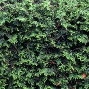 ニオイヒバの特徴と種類