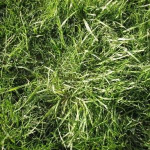 Perennial Grassy Weeds in Lawns and Gardens