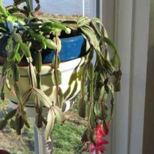 Christmas Cactus Is Rotting: Tips On Treating Root Rot In Christmas Cactus