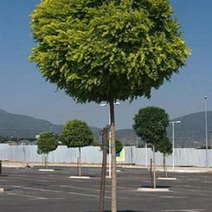 Arboles pequeños: Acacia Bola